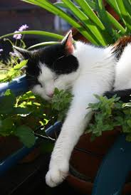 Cat in catnip